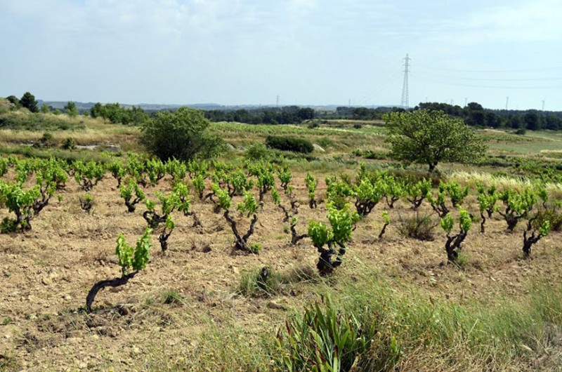 Ancient-Garnatxa-Negra-Vines