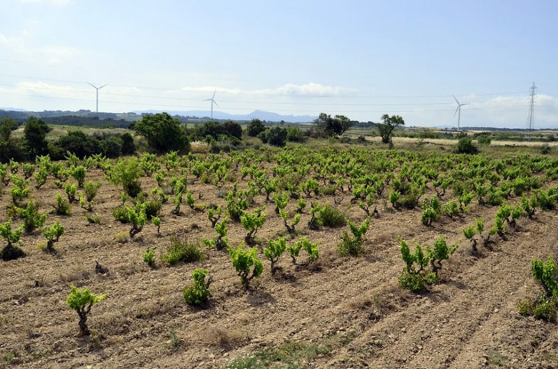 Half-Hectare-of-Garnatxa-Negra---Used-Exclusively-for-La-Serra-Wine