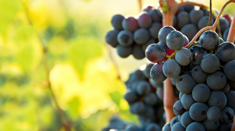 Photo. Closeup on bunches of black grapes in vineyards, Tuscany, Italy ** Note: Soft Focus at 100%, best at smaller sizes