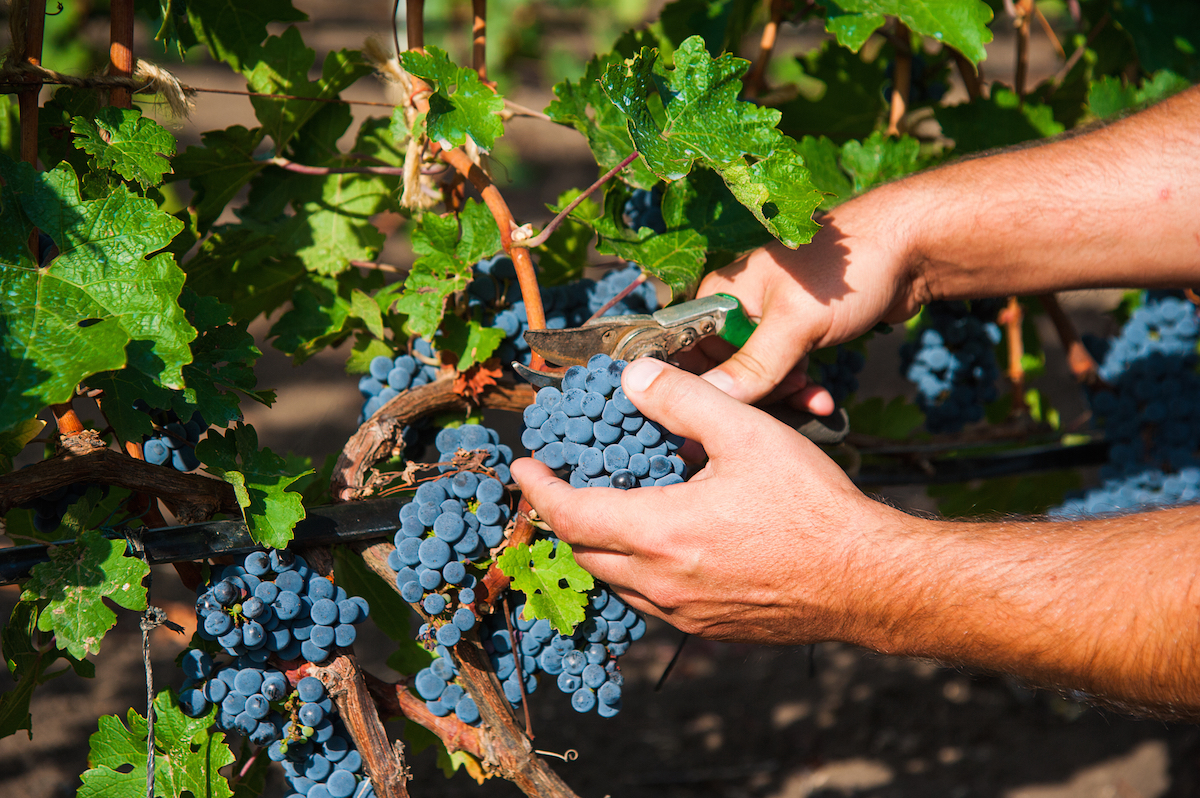 How Is Your Wine Made? | Why Wine Grapes are Picked at Night & More